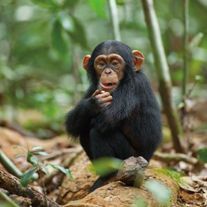 watch disneynatures chimpanzee film for earth day mommy