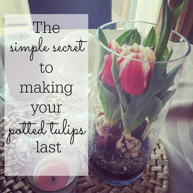 The-simple-secret-to-making-your-potted-tulips-last-all-season