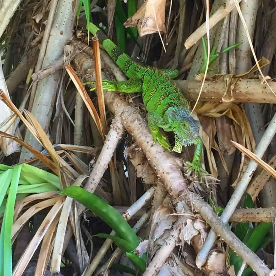 lizard key west