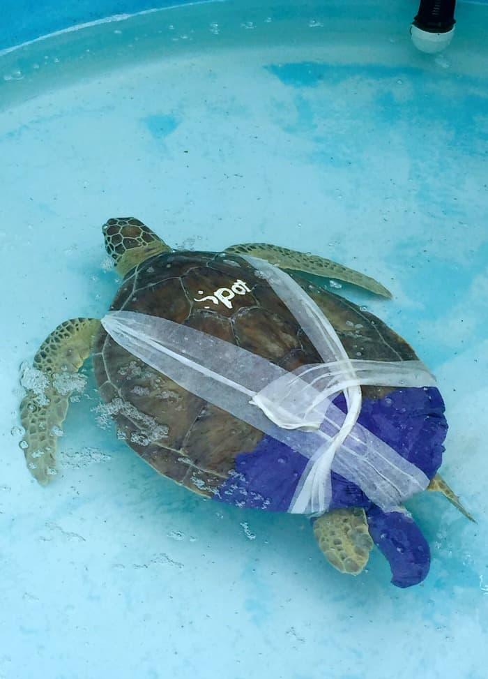 turtle rehab